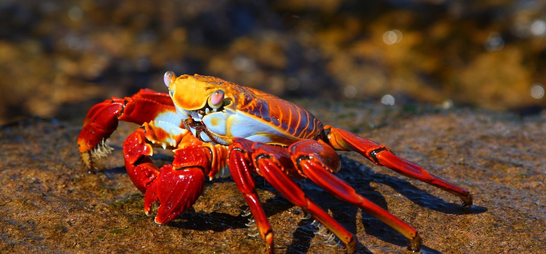 A colorful Sally Lightfoot crab