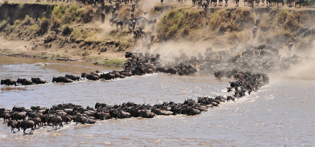 Wildebeest crossing the river in the Serengeti