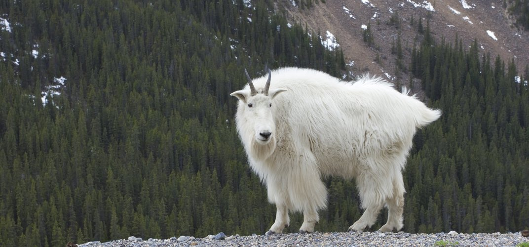 Mountain goat, as seen along Icefields Parkway