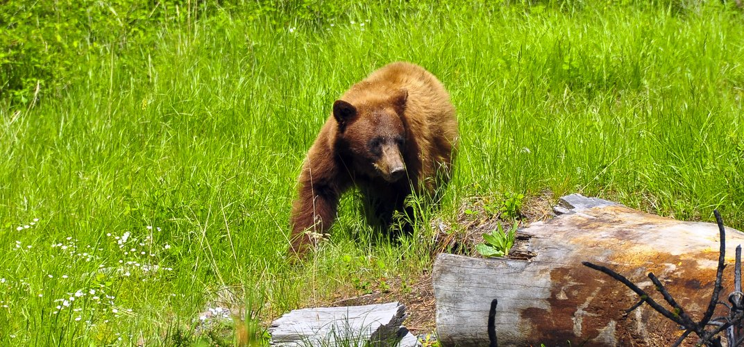 A black bear in Yellowstone National Park