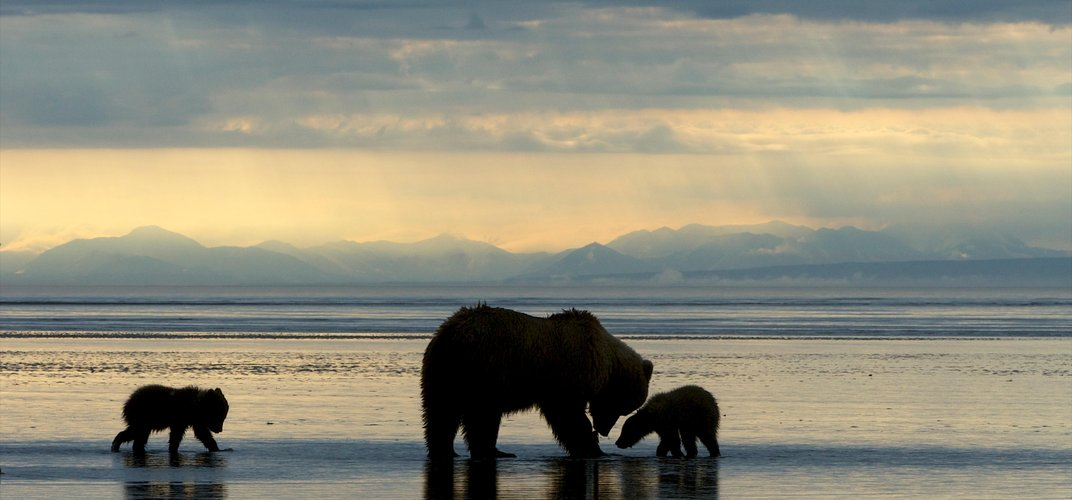 Mother bear and cubs in Alaska