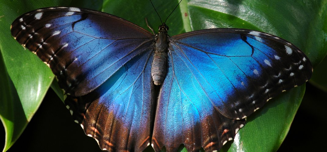 A brilliantly colored morpho butterfly