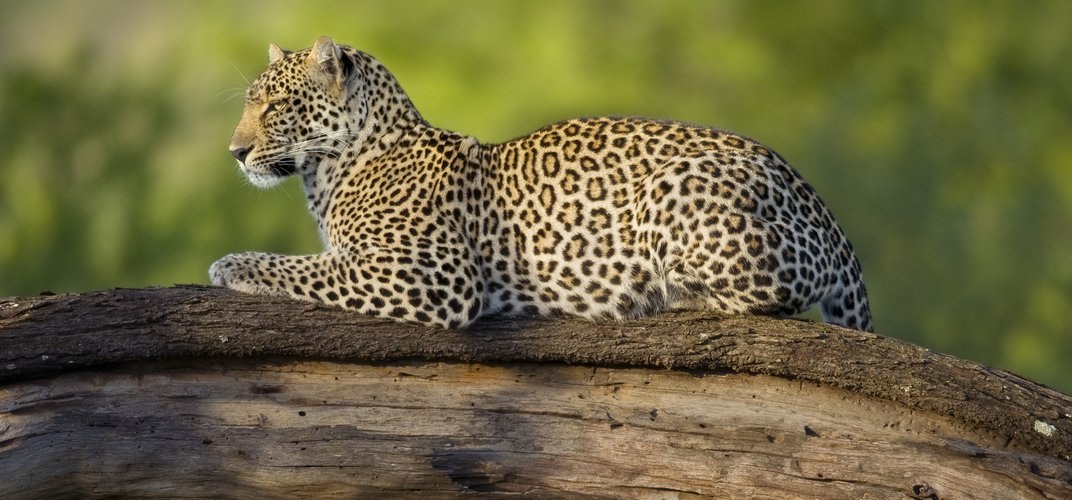 Leopard on watch in a tree in the Serengeti