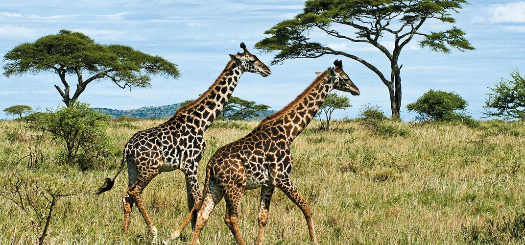 Giraffes running on the plains. Credit: Troy Feener