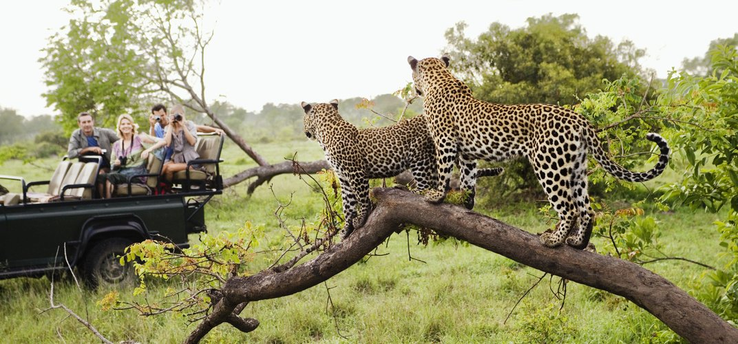 Leopards on safari