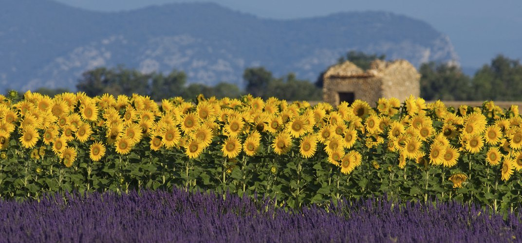 Landscape of sunflowers in Provence