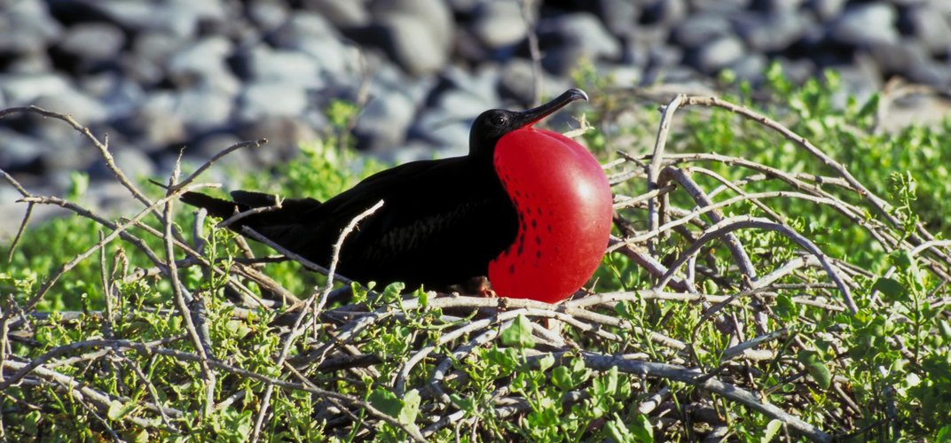 Bright Frigate bird