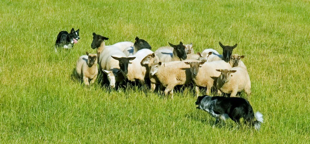 Sheep dogs working their herd