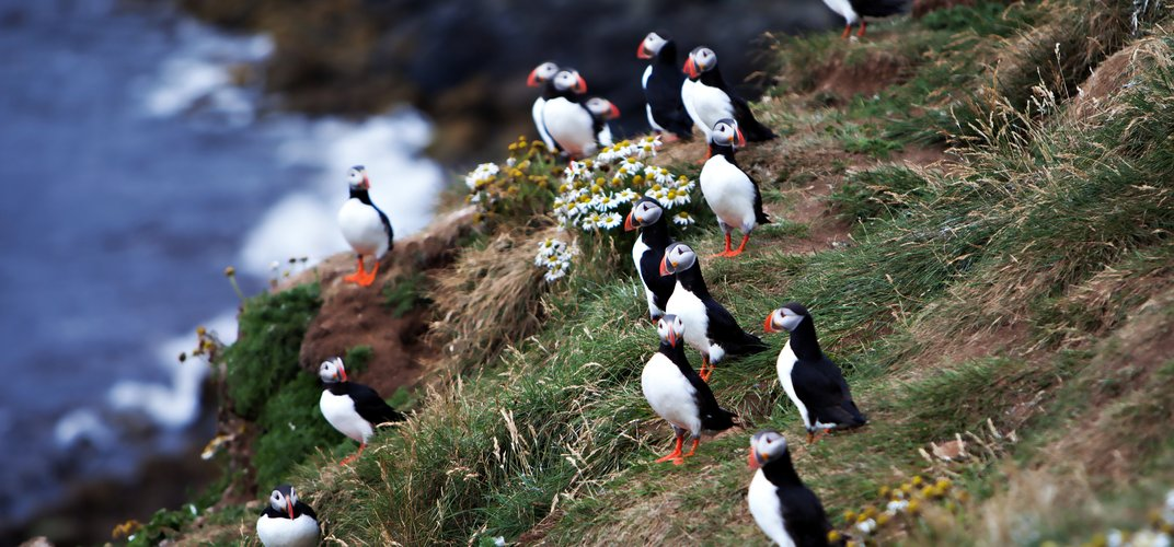 Puffins along the cliffs of Iceland