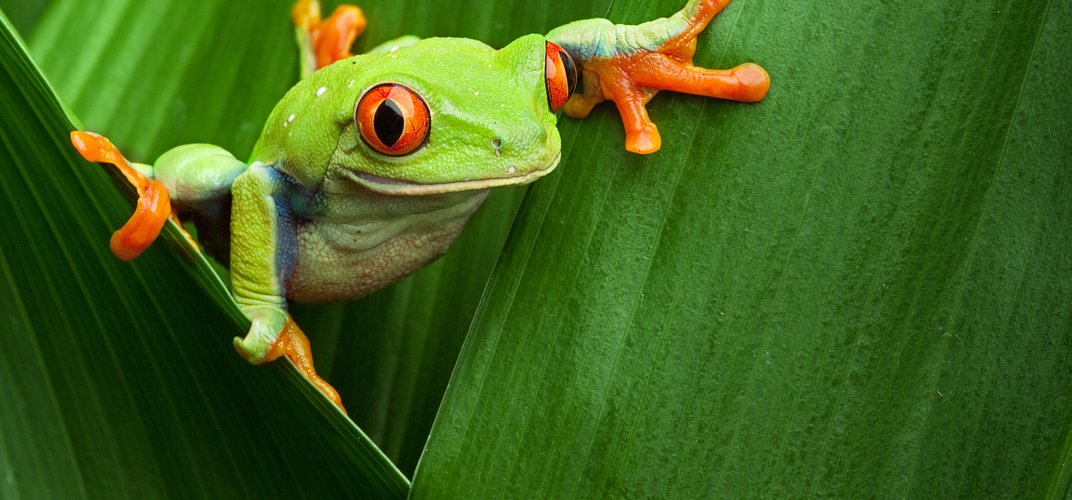 Red-eyed tree frog crawling between leaves in the jungle