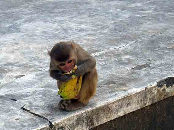 Macaque eating a banana (Photo by Andrew Smith)